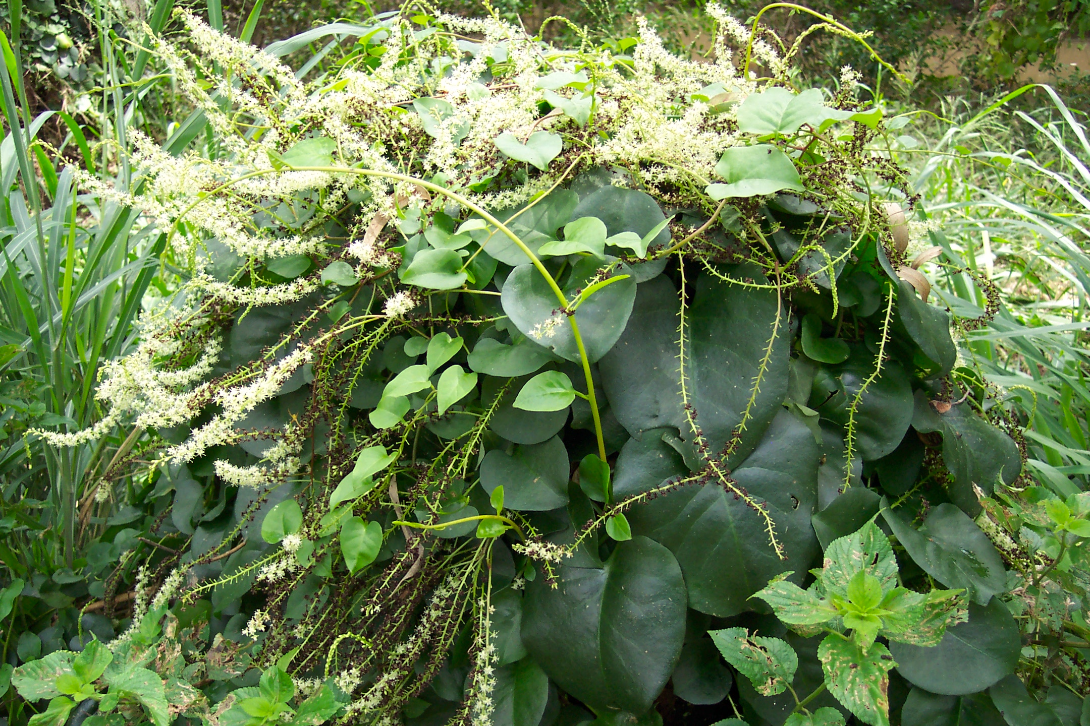 Weed Of The Week Madeira Vine Redland City Council News