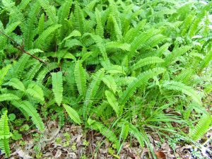 Fishbone Fern